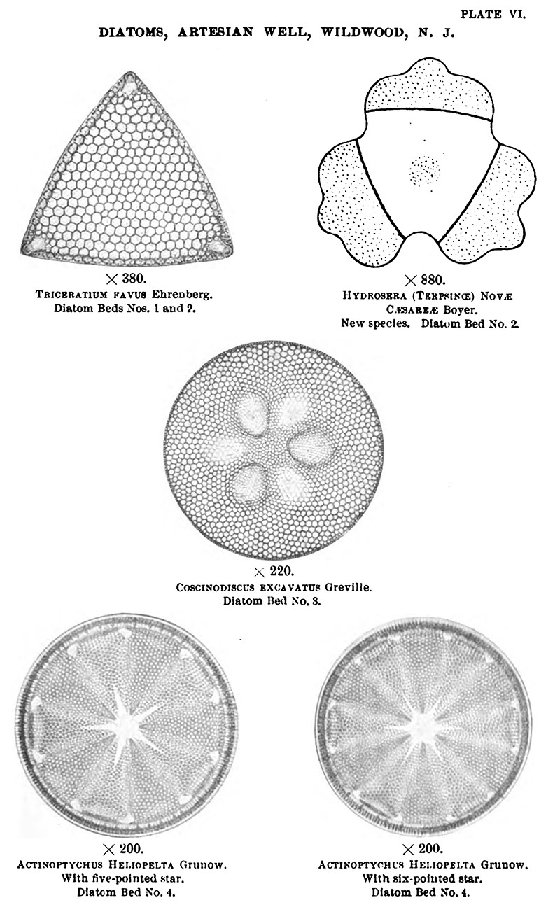 diatom diagram - photo #26